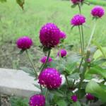 """""""千日紅""""という花です。長期間咲きます"""